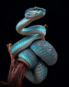 """""""My blue friend poses for a memento. Les Reptiles, Cute Reptiles, Reptiles And Amphibians, Pretty Snakes, Beautiful Snakes, Snake Wallpaper, Animal Wallpaper, Nature Animals, Animals And Pets"""