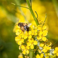 Kürzlich entdeckt. #Zackenschötchen #Wildblume #gelb #Wildbiene #wildgruenbunt Insects, Bee, Animals, Plants, Honey Bees, Animales, Animaux, Bees, Animal