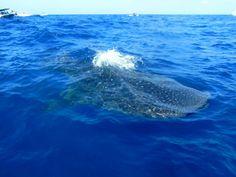 Swimming with Whale Sharks.  Nadando con el Tiburón Ballena.