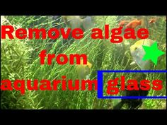 How to Get Rid of Algae in your Fish Tank. Here is how to remove and prevent algae to proliferate in your aquarium. Aquarium Algae, Glass Aquarium, Saltwater Aquarium, Saltwater Tank, Aquariums, Going Fishing, Fishing Tips, Fly Fishing, How To Get Rid