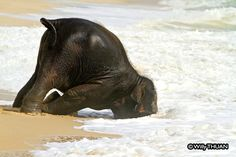 Baby Elephant Playing on the Beach: The real story behind the photos :https://www.phuket101.net/baby-elephant-playing-on-the-beach/