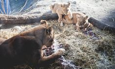 Danish zoo that killed Marius the giraffe puts down four lions