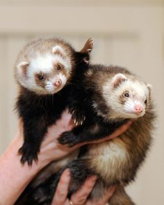 These look EXACTLY like my ferrets! <3