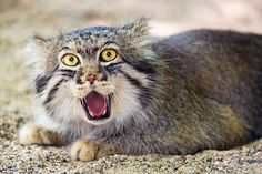 These Pictures Prove The Manul Cat Has The BEST Facial Expressions In The World. {Not a domestic cat, even is some photos look like it could be}