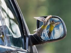 A grey wagtail attacks his reflection - the winner in the animal behaviour category in this year's British wildlife photography awards Photograph: Robin Orrow/BWPA/PA
