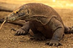 Komodo Dragon Lizard Komodo dragon information