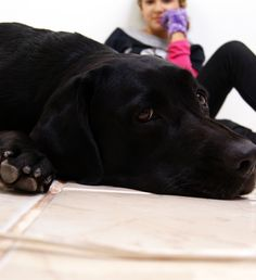 Diesel cansou Diesel, Labrador Retriever, Dogs, Animals, Labrador Retrievers, Animais, Animales, Animaux, Chocolate Labradors