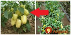 Každý pestovateľ túži po bohatej úrode a veľkých plodoch, pokiaľ možno bez použitia chémie. Dnes vám ukážeme trik, ako možno vypestovať bohatú úrodu veľkých mäsitých paprík, ktorými sa preslávite v celom okrese. A nebudete pritom Dream Garden, Diy And Crafts, Gardening, Vegetables, Stuffed Peppers, Outdoor Decor, Plants, Food, Tips