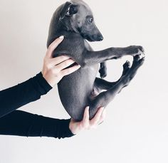 The blue whippet