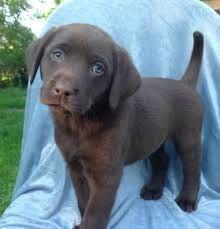 akc dogs | AKC Chocolate Labrador Puppies for Sale in Statesboro ...