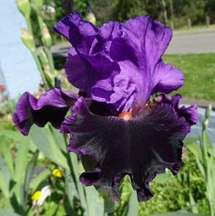 Plant database entry for Tall Bearded Iris (Iris 'Who's Your Daddy') with 13 images and 32 data details. Bearded Iris, Black Flowers, Lilac, Daddy, Bloom, Purple Garden, Plants, Irises, Image
