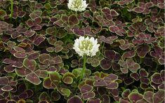 Trifolium repens 'Atropurpureum' - Bronze Dutch Clover