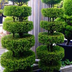 The word topiary is not common among many people. It is simply a way to give proper shape to the hedges and trim them in a perfect manner. This art of giving proper shape to the hedges is quite popular in all over the world. Outdoor Topiary, Topiary Garden, Topiary Trees, Garden Shrubs, Custom Exterior Doors, Exterior Signage, Cafe Exterior, Exterior Homes, Stucco Exterior