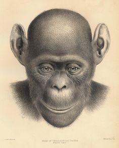 Head of a single common chimpanzee.