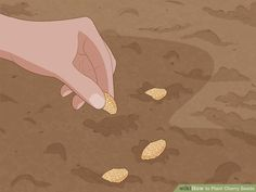 How to Plant Cherry Seeds (with Pictures) - wikiHow Cherry Tree From Seed, Growing Cherry Trees, Planting Cherry Seeds, Comment Planter, Raising Goats, Peat Moss, Sour Cherry, Home Vegetable Garden, Chicken Breeds