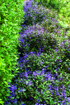 Plectranthus 'Mona Lavender' • Low light positions in the garden • Adding colour to shaded areas under decks • Border planting or for a shaded pathway or drive. Mixed Border, Planting, Gardening, Under Decks, Border Plants, Low Lights, Pathways, Yards, Looks Great