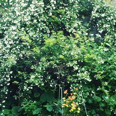 モッコウバラ #庭の花