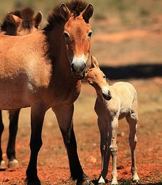 Little Effie, a rare Przewalski breed was born last November in Australia.  Only 120 remain in Mongolia and is one of the last of the world's wild horse..
