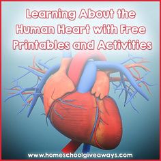 Learning About the Human Heart with FREE Printables and Activities | Homeschool Giveaways
