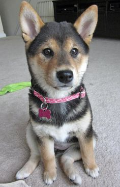 Cuteness overload with this one!   Shiba Inu.