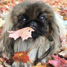 7 Pekingese That Prove Why The Breed Was Revered By Royals - American Kennel Club