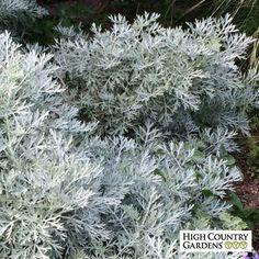 ITEMS FREE P//P WHEN YOU BUY 3 Artemisia /'Powis Castle/' 1 PLANT
