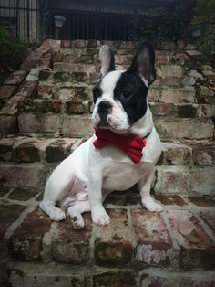 Atticus Finch, French Bulldog Puppy in a Bow Tie, 8 months.