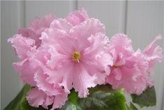 ЕК-Нежность(стандарт)Огромные (7-8см) махровые и полумахровые слегка волнистые нежно-розовые цветы на мощных цветоносах. Крупная насыщенно-зелёная розетка из округлых листьев.  Сорт с очень крепкими стоящими цветоносами