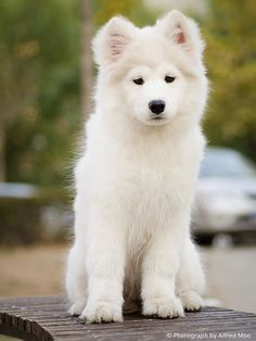 Bobby a Samoyed Dog by Alfred M., via Flickr.com