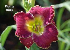 PIPING ROCK Daylily