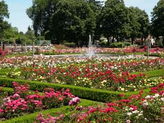 """The """"Rose Garden"""" in Portland has the most beautiful roses in the world.  I spent about 5 hours walking through the park and taking pictures.  I can't grow plants...my thumb is the opposite of green (whatever that is)!  But the scent and beauty of this place can be appreciated by anyone."""