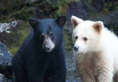 Spirit bear cubs.....Spirit bears are rare black bears with white or creamy fur, brown eyes, dark nose pads, and nearly white claws. They are not polar bears or albinos. Maybe 100 exist.  Most Spirit Bears live on Princess Royal and Gribbell Islands along the rain-forest coast of British Columbia. They are considered a subspecies of black bears called Kermode bears (Ursus americanus kermodeii). About 20 percent of the bears on those islands are white; the rest are black.