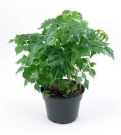 China Doll plant is easy to grow indoors. Find out how to care for China Doll house plant, with tips for pruning, watering, fertilizing. Little Plants, Small Plants, Indoor Plants, Indoor Gardening, Potted Plants, Indoor Aquaponics, Aquaponics Fish, Aquaponics System, Types Of Succulents