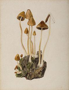 Fantastic Website!!!! This is an image of Beatrix Potters watercolour titled Psathyrella conopilus