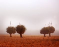 Xanthorrhoea in early morning fog