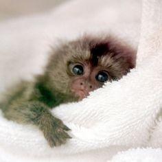 Marmoset Monkey By Floridapfe On Flickr.