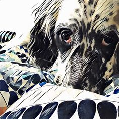 Sullivan the English Setter