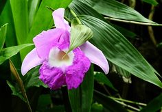 Bamboo orchid is a terrestrial perennial orchid with reedy stems, forming into large clumps. The bamboo orchid gets its common name because its tall, stiff stems resemble reeds or bamboo. This tropical Asiatic genus extends from India, Nepal, Thailand, Malaysia, Singapore, South China to Indonesia and across the Pacific Islands. This orchid blooms in summer and autumn, showing rather open clusters of showy terminal flowers, ten at the most. Tropical plant, USDA zone 10-11.