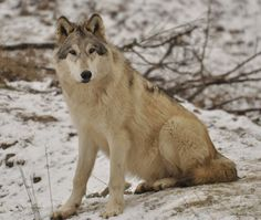 I looked through my folders and found some nice and hopefully useful wolf stock photos that I have never uploaded (mainly because I thought that the qua. Old WSC stock 8 Gray Wolf, Husky, Stock Photos, Dogs, Animals, Image, Animais, Animales, Animaux