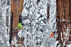 The President Sequoia Tree