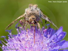Im Schwirrflug von Blüte zu Blüte - Die Gamma-Eule ist einer unserer häufigsten Nachtfalter - https://www.nabu.de/tiere-und-pflanzen/insekten-und-spinnen/schmetterlinge/nachtfalter/05174.html