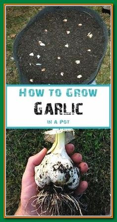Hydroponic Gardening Ideas how-to-grow-garlic - Growing garlic is easy and doesn t require a lot of space This post demonstrates how simple it is to grow garlic in a container Indoor Vegetable Gardening, Home Vegetable Garden, Organic Gardening Tips, Hydroponic Gardening, Herb Gardening, Urban Gardening, Flower Gardening, Gardening Books, Potted Garden