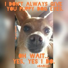 #Barkley #Chihuahua #family #dogs #MinPinCountry #MammasBoy #puppydogeyes #Cute