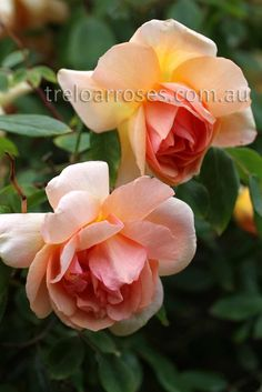 Crepuscule.  Informal apricot to yellow blooms. The virtually thornless plant can be allowed to grow as a large sprawling shrub or trained as a moderately vigorous climber. Repeat flowering with good fragrance.