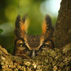 Besides being a source of beauty and inspiration, birds are an important part of our ecosystem. Many species are at risk because of habitat loss, disease and climate change. Public education and conservation are the best tools to ensure a better future for these wonderful animals. This great horned owl wants to know what you think. Photo by Dennis Demcheck, U. S. Geological Survey.