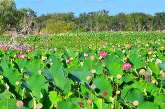 Lotus at Cape York