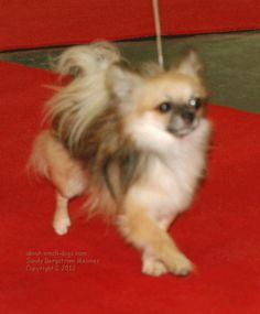 Chihuahuas come in so many different colors. This pretty long coat is a sable -- dark tips over a cream base.