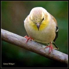 An American Goldfinch. Photo by Linzy Hötger