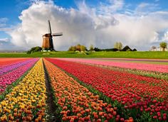 Welcome to Holland - The paradise of Tulips, wooden shoes and windmills! Colorful fields of tulips and a windmill under a cloudy sky in Holland. Parc Floral, Dutch Tulip, Tulip Fields, Bulb Flowers, Most Beautiful Cities, Amazing Places, Le Moulin, Countries Of The World, European Countries