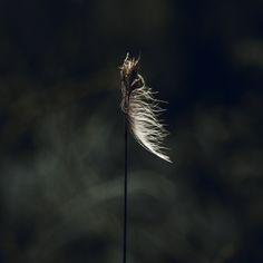 Prachtig in het licht, een veer die blijft hangen in een uitgebloeide bloem. #fotografie #natuur #kunst #veer #licht #textuur #interieur #wanddecoratie #dibond #baklijst #fineartprint #wallart #photography #nature #naturephotography #zonlicht #foto #woninginrichting Dandelion, Feather, Nature, Plants, Kunst, Quill, Naturaleza, Dandelions, Feathers